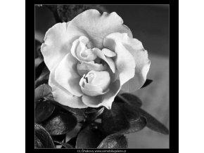 Květ azalky (4442-3), žánry - Praha 1966 duben, černobílý obraz, stará fotografie, prodej