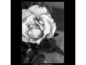 Květ azalky (4442-4), žánry - Praha 1966 duben, černobílý obraz, stará fotografie, prodej