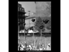 Tulipány (4508-1), žánry - Praha 1966 květen, černobílý obraz, stará fotografie, prodej