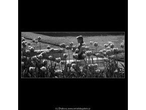 Tulipány (4508-3), žánry - Praha 1966 květen, černobílý obraz, stará fotografie, prodej