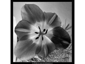 Květ tulipánu (4533-2), žánry - Praha 1966 květen, černobílý obraz, stará fotografie, prodej