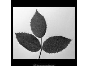 Šípková růže listy (4548-2), žánry - Praha 1966 červen, černobílý obraz, stará fotografie, prodej