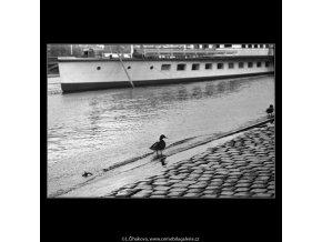 Kachna u břehu (4593-1), žánry - Praha 1966 červen, černobílý obraz, stará fotografie, prodej