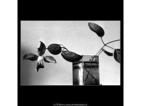 Květ (4597-1), žánry - Praha 1966 červenec, černobílý obraz, stará fotografie, prodej