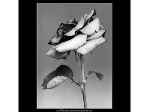 Květ růže (4598-1), žánry - Praha 1966 červenec, černobílý obraz, stará fotografie, prodej