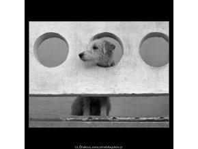 Pes na balkóně (4811-1), žánry - Praha 1966 srpen, černobílý obraz, stará fotografie, prodej