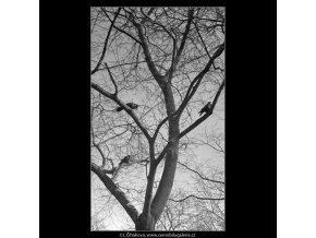 Stromy a ptáci (5078-2), žánry - Praha 1967 únor, černobílý obraz, stará fotografie, prodej