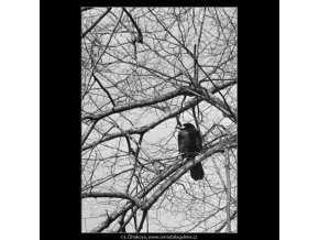 Stromy a ptáci (5078-4), žánry - Praha 1967 únor, černobílý obraz, stará fotografie, prodej