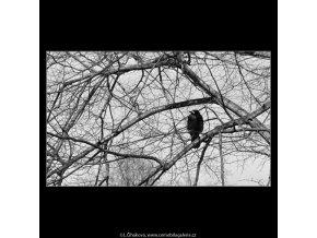 Stromy a ptáci (5078-5), žánry - Praha 1967 únor, černobílý obraz, stará fotografie, prodej