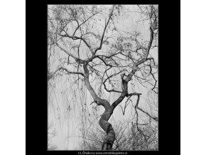 Pražské stromy (5117-1), žánry - Praha 1967 únor, černobílý obraz, stará fotografie, prodej