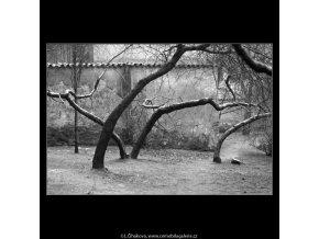 Pražské stromy (5117-5), žánry - Praha 1967 únor, černobílý obraz, stará fotografie, prodej