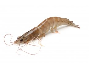 Fresh vannamei shrimp on white background