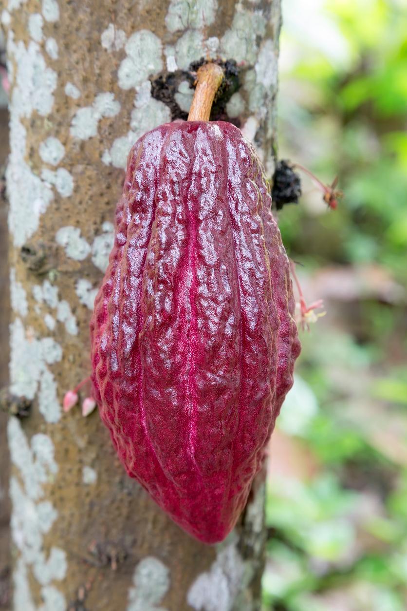 Rubínový kakaový bôb