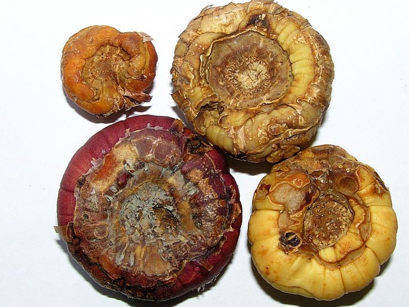 Choroby hlíz a cibulí okrasných rostlin