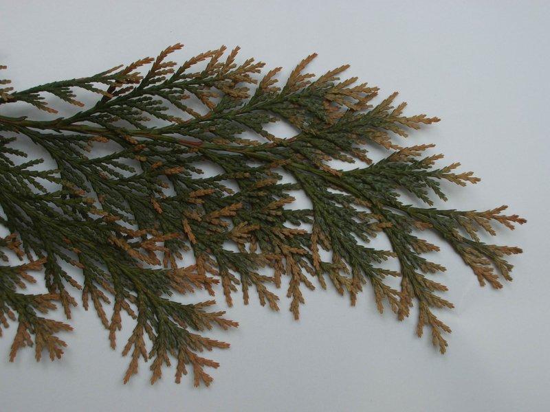 Hnědnutí listů jehličnanů