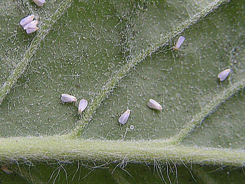 Molice na okrasných rostlinách