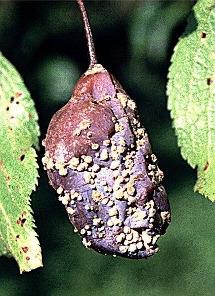 Moniliová hniloba plodů švestky
