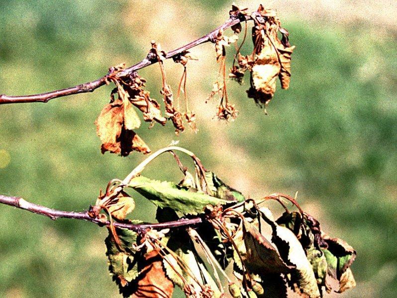 Moniliová spála květů peckovin (úžeh)