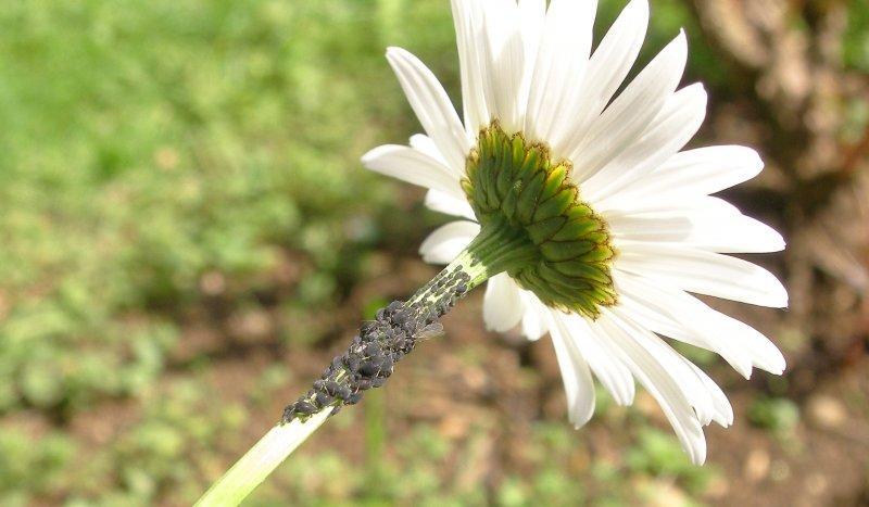 Mšice na okrasných rostlinách