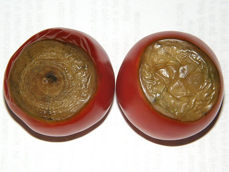 Nedostatek vápníku na rajčeti