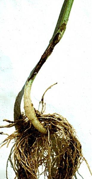Padání kličních rostlin zeleniny