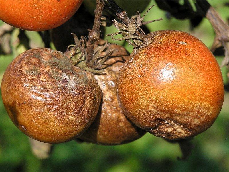 Plíseň rajčete (plíseň bramborová)