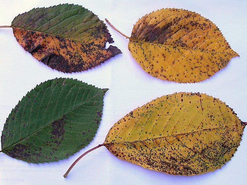 Skvrnitost listů třešně a višně
