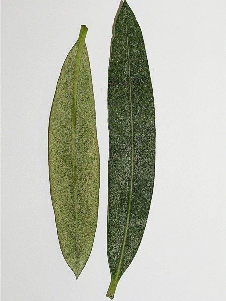 Sviluška na okrasných rostlinách