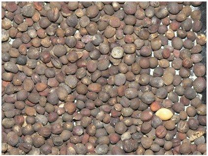 Krmná řepa HAKO 100 g č.partie:6-2333-60604/01