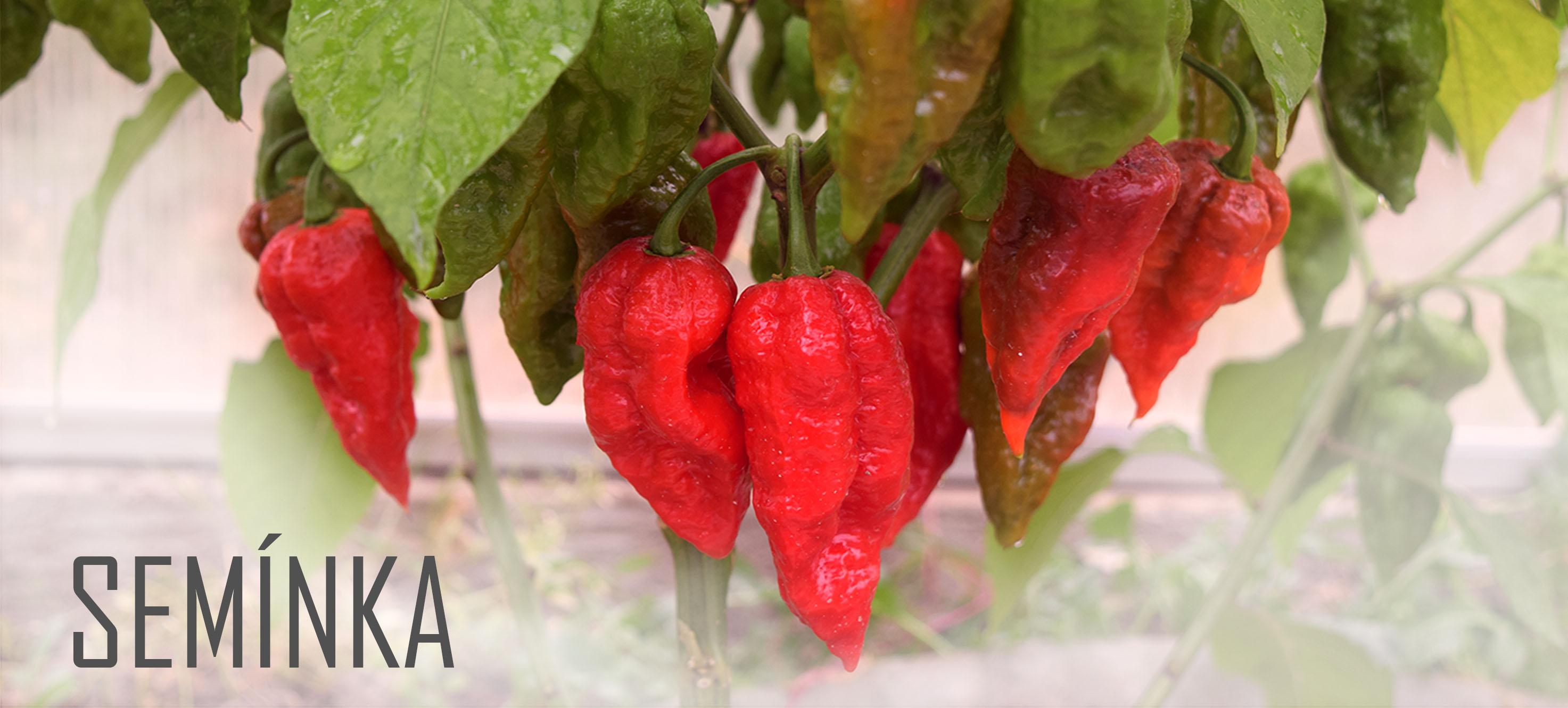 Semínka chilli papriček