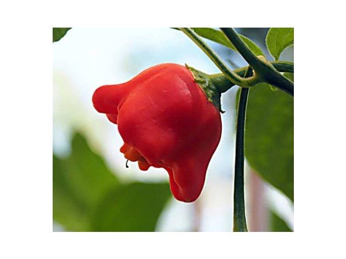 Popis této chilli papričky