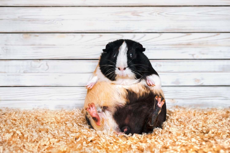 Čím krmit morče nebo králíka a co jim ubližuje