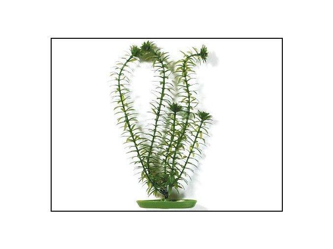 Rostlina Anacharis 13 cm
