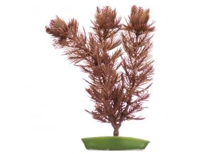 Rostlina Foxtail 20 cm