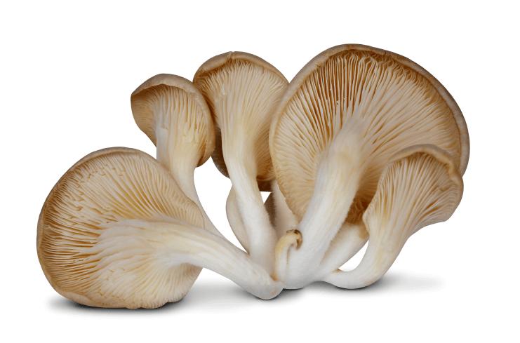 lecive-houby-hliva