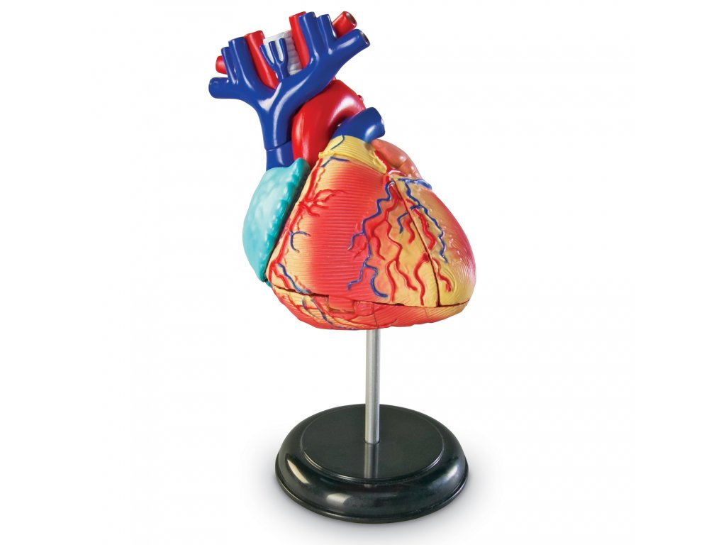 Anatomický model srdce