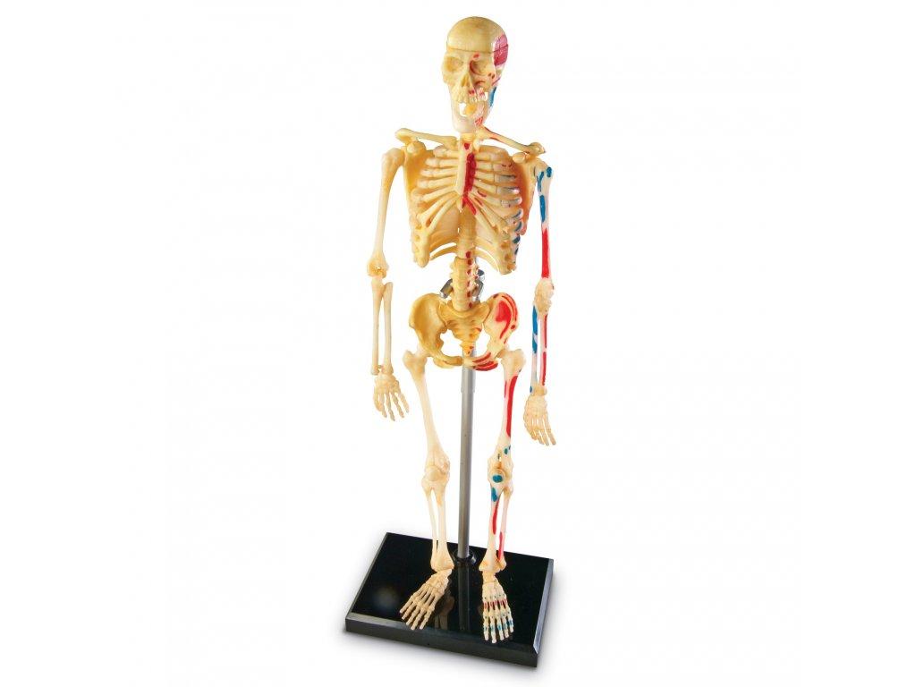 Anatomický model Lidská kostra
