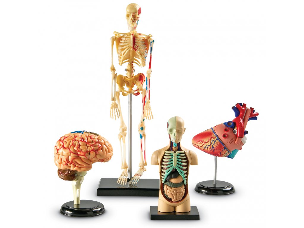 Anatomické modely lidského těla - set (srdce, mozek, tělo, lidská kostra)