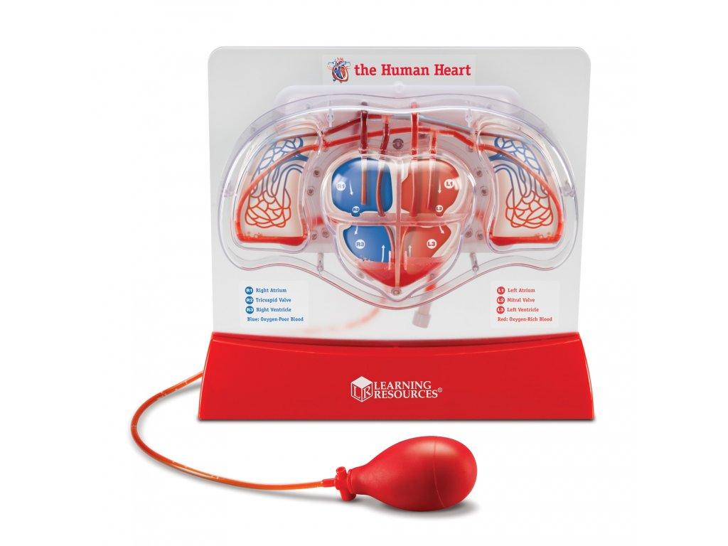 Jak pumpuje srdce? Anatomický model