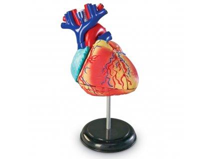 Anatomický model lidského srdce