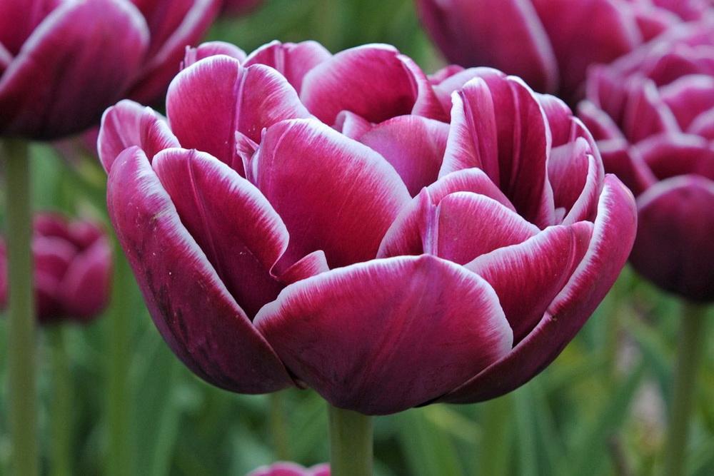 Tulipány Tulipa