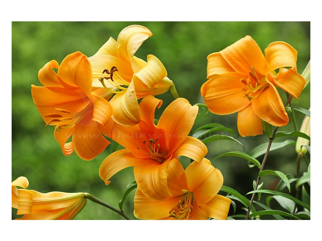 OrangePlanetlilieIMG 8987copy