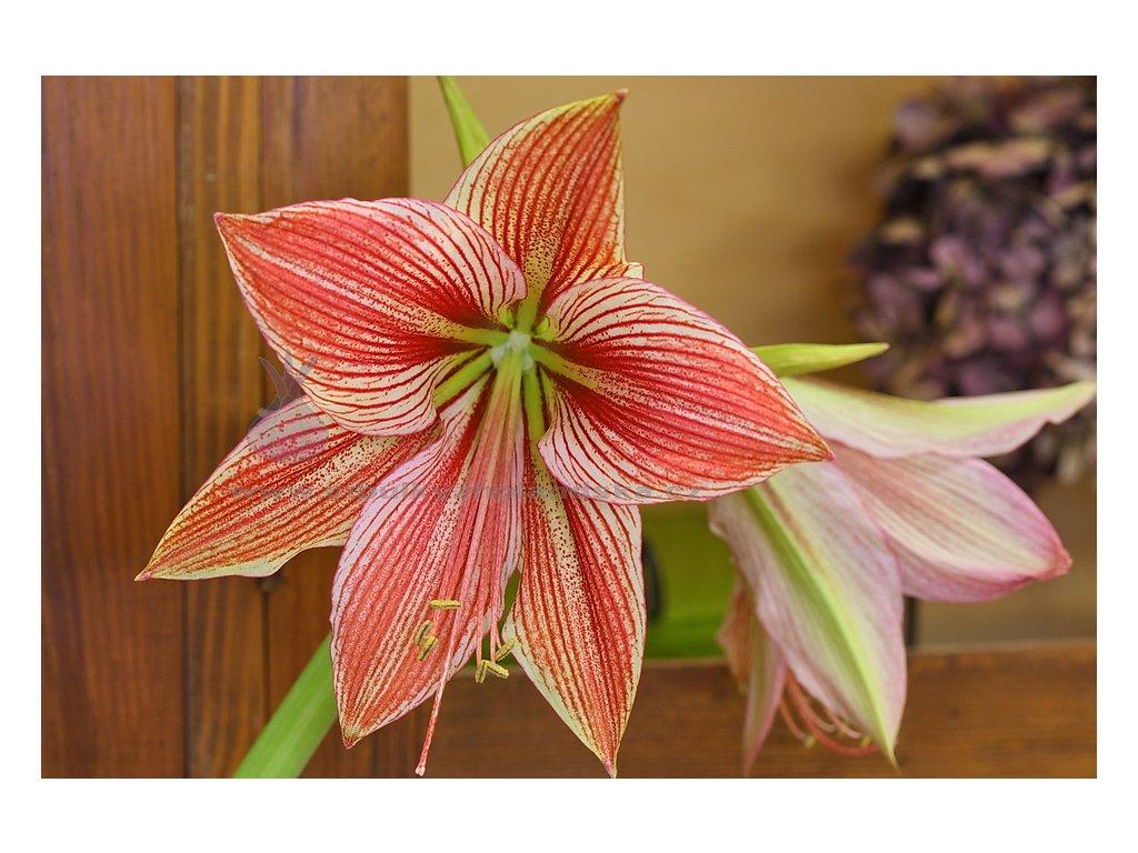 Amarylka Exotic Star Amaryllis hvězdník
