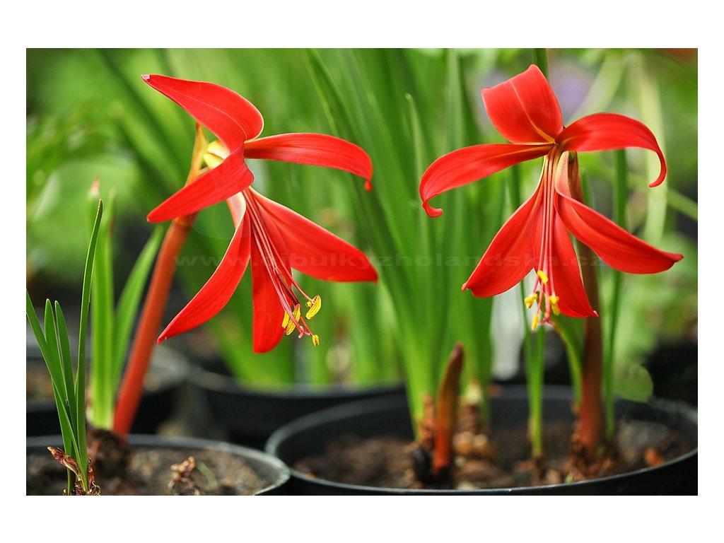 Jakubská lilie Sprekelia formossisima 10 ks