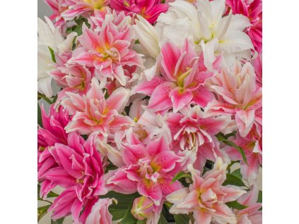 roselily mix 1200a