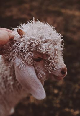 Keratin z ovčí vlny