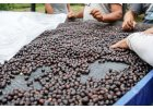coffeeholics cafe iport costarica tarrazu (3)