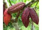 Plantážní čokolády