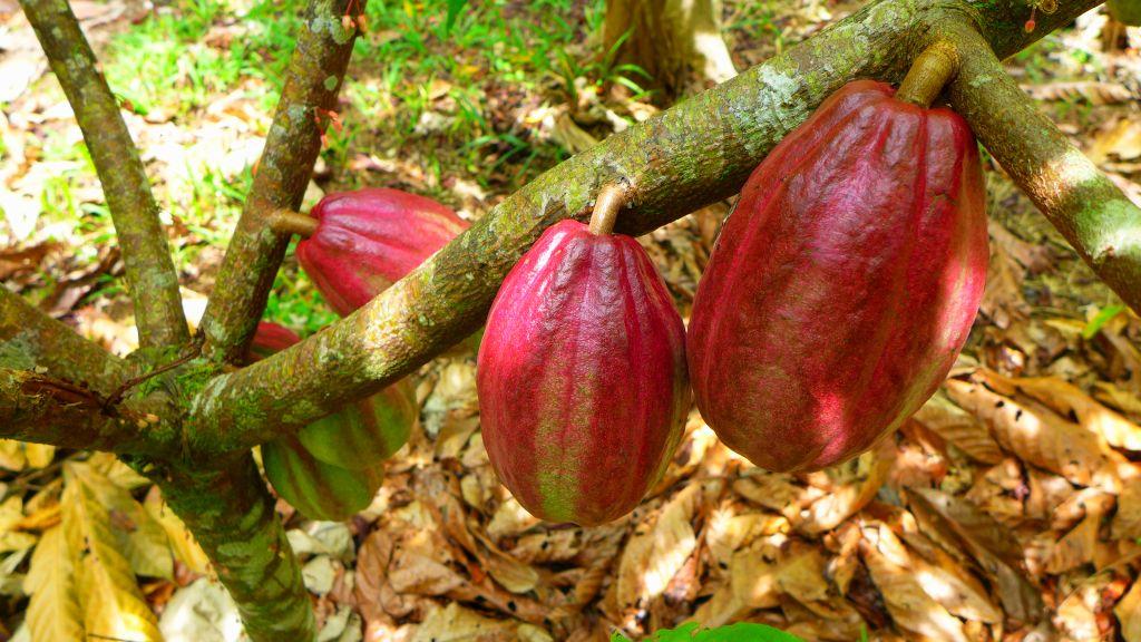 Kakaove-boby-lusky-kostarika-Cokobanka-cz