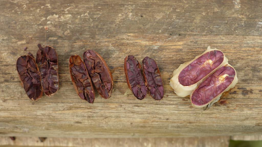 Kakaove-boby-plantaze-Kostarika-Petja-Cokobanka-cz
